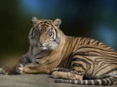 тигр, play, hızlı