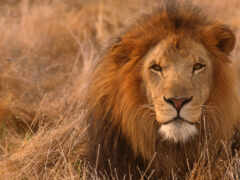 lion, left, кот
