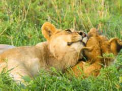 ласка, pair, львы