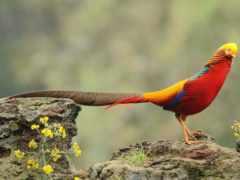 pheasant, золотистый, животные