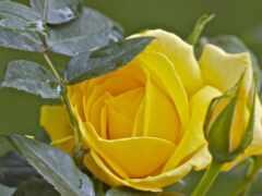 розы, анимация, роз
