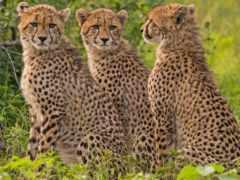 гепард, zhivotnye, animal