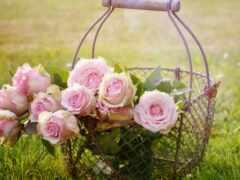 день, красивый, роза