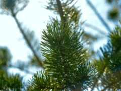 pine, дерево