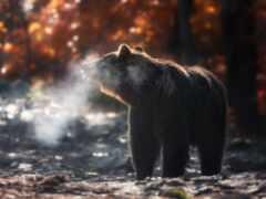 осень, медведь, фото