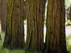 деревьев, стволы, ствол