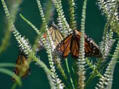 бабочка, монарх, насекомое