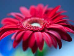 гербера, цветы, red