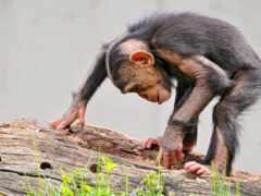 обезьяна, log, шимпанзе