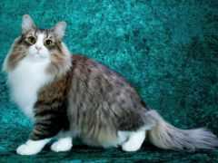 british, кот, pictures