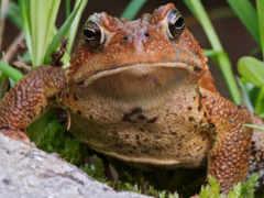 toad, лягушки, разноцветные