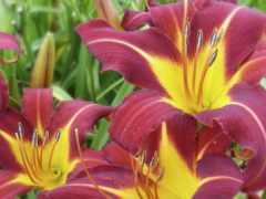 лилии, lily, cvety