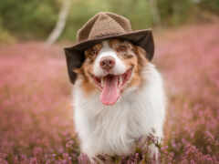 australian, овчарка, собака