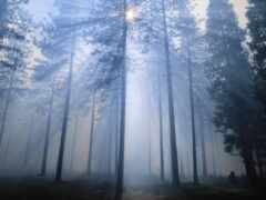 fore, дерево, fir