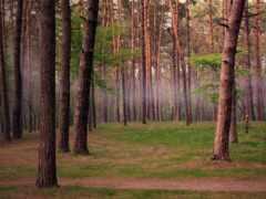 лес, pine, bora