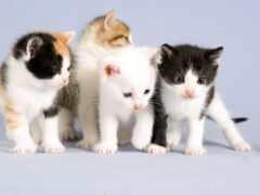 котенок, кот, oir