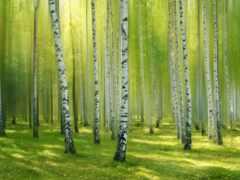 береза, grove, лес