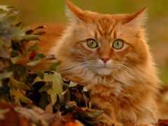 кошки, рыжие, коты