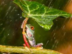 лягушка, лягушки, листом