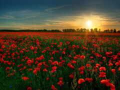 цветы, campo, поле