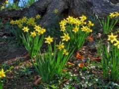 daffodil, цветы