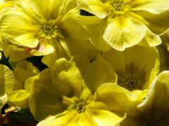 первоцвет, garden, yellow