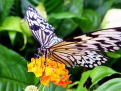 how, вырасти, milkweed