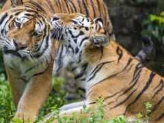 тигр, пара