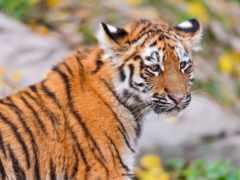 тигр, тигренок Фон № 19429 разрешение 1920x1200