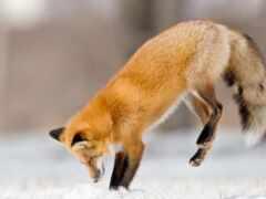 фокс, vulpe, tail