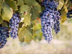 вино, плод, carmenere