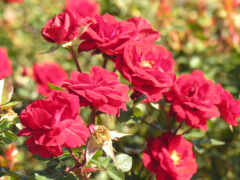 flora, роза, взлёт