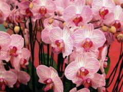 орхидея, вырасти, oir