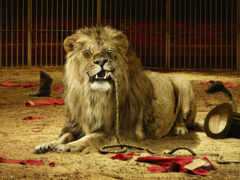 leão, leões, massarti