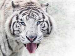 тигр, white, фотография