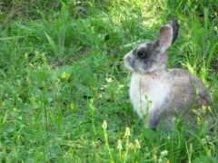 кролик, cottontail, заяц