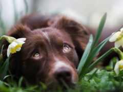 собака, взгляд, cvety