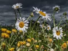 поле, цветы, ромашка