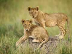 львы, красивые, pin