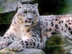 снег, ipad, леопард