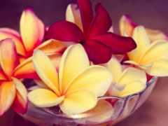 frangipani, плюмерия, plumeria