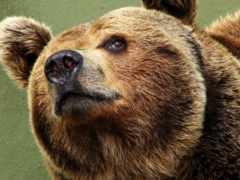 медведь, морда, медвежья