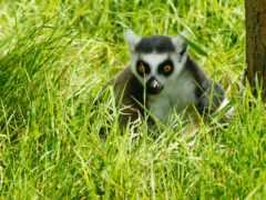 lemur, животные, wild