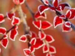 листья, иней, red