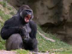 горилла, обезьяна, silverback