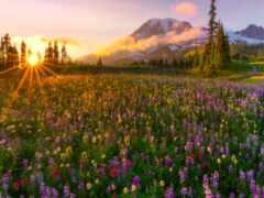 cvety, луг, поле