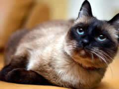кот, сиамский, blue