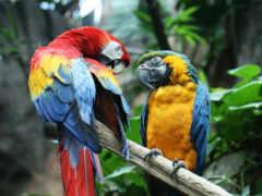 macaw, ara, попугай