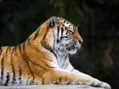 хищник, тигр