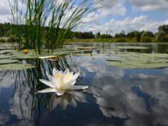 кувшинка, пруд, листва